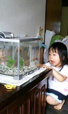 萌々ちんの金魚再び。
